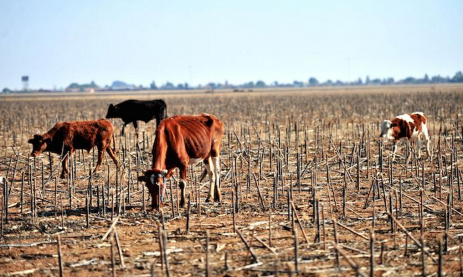 Mosalashuping Kgomo's cattle graze on July 3, 2015 in Delareyville, South Africa. Kgomo is among the farmers in the area who have been affected by the current drought. The drought has affected many parts of the country where farmers growing maize, soya beans and sunflowers have incurred major losses. Photo: Muntu Vilakazi, Gallo Images City Press