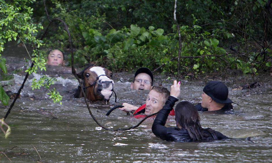 People work to rescue one of up to 70 stranded horses. Photo: Mark Mulligan, AP