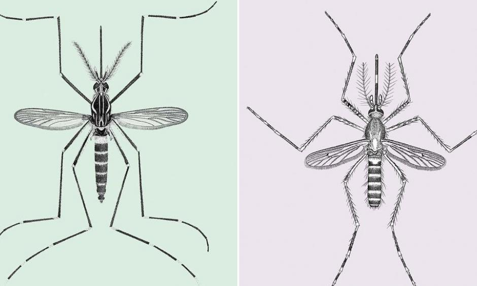 Aedes aegypti (left) and culex tarsalis (right). Image: Vichai Malikul/Department of Entomology/Smithsonian Institution