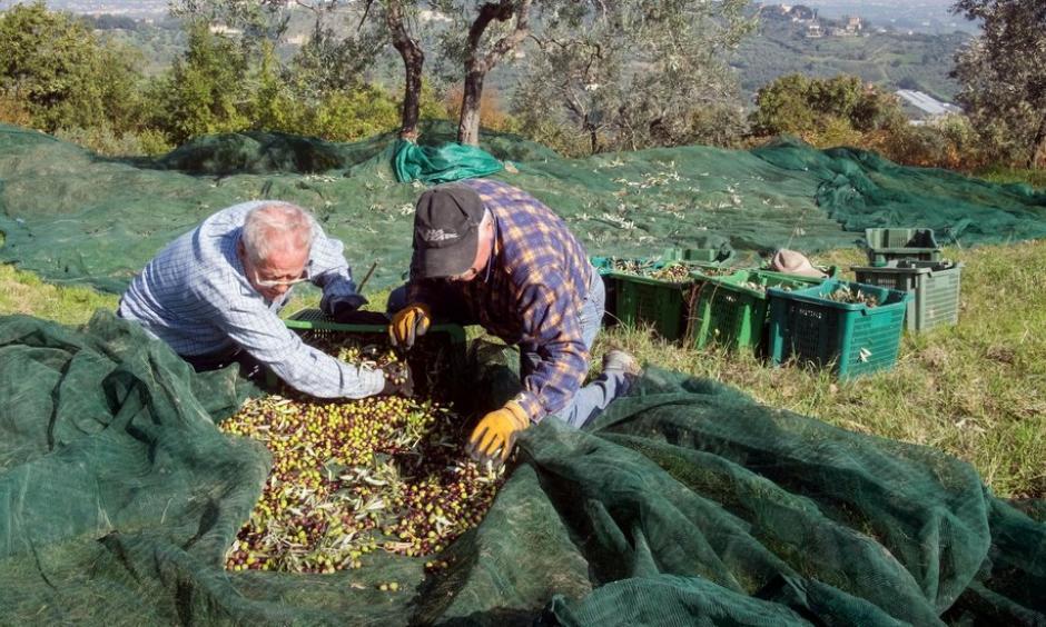 Harvesters gathering olives at Capezzana, the Contini Bonacossi family estate in Prato, Italy. Photo: Massimo Berruti for The New York Times