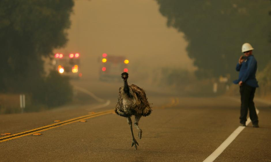 An emu escapes a wildfire near Potrero, California, on Monday. In wildfire-prone areas, different animals have different responses to fire. Photo: Mike Blake, Reuters