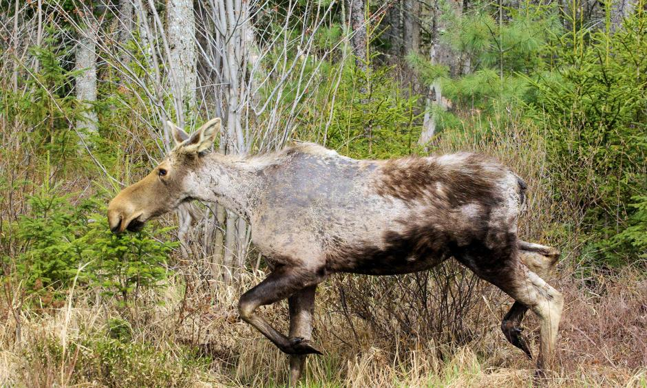 "A female ""ghost moose"" with severe hair loss is seen in springtime in New Hampshire. Photo: Daniel Bergeron"