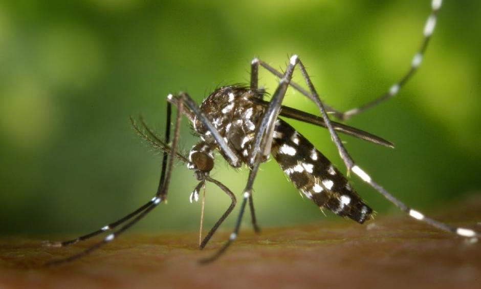The Aedes albopictus mosquito, native to NYC, has been known to transmit Zika in other areas. Photo: Wiki commons