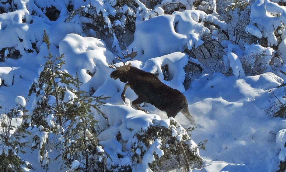A bull moose moves through deep snow and brush while being observed during the Minnesota DNR's annual winter survey of the state's moose population in January. Photo: Mike Schrage, Fond du Lac Resource Management Division