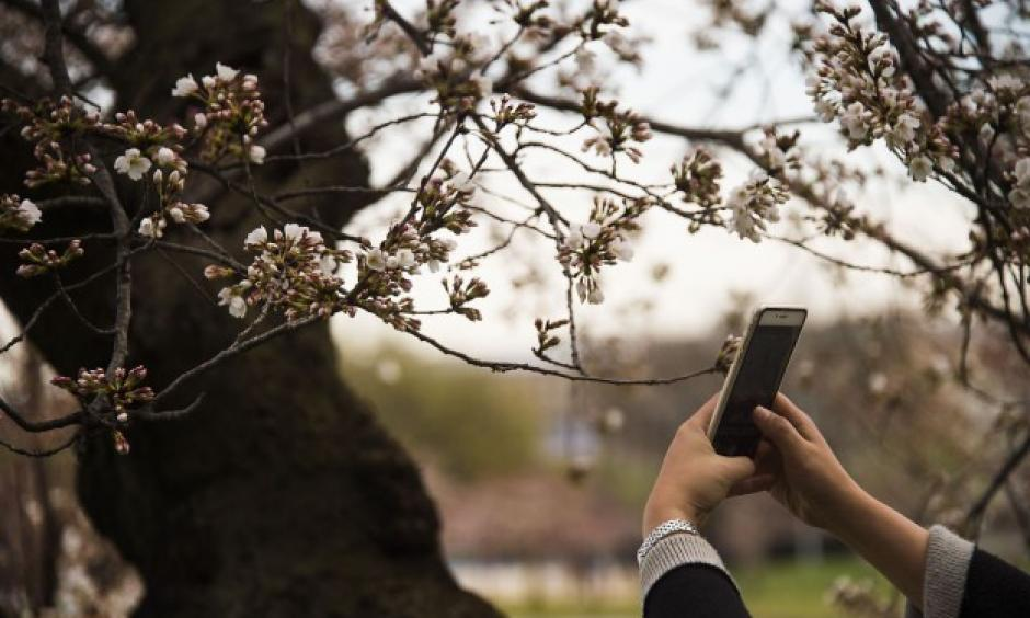 A woman uses her cell phone to take a pictures as the cherry blossoms begin to bloom at the Tidal Basin in Washington, DC, March 22, 2016. Photo: Jim Watson, AFP/Getty Images)
