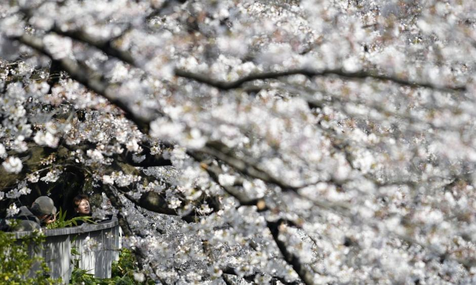 People take pictures of cherry blossoms in full bloom along a river in Tokyo on April 4. Photo: Franck Robichon, European Press