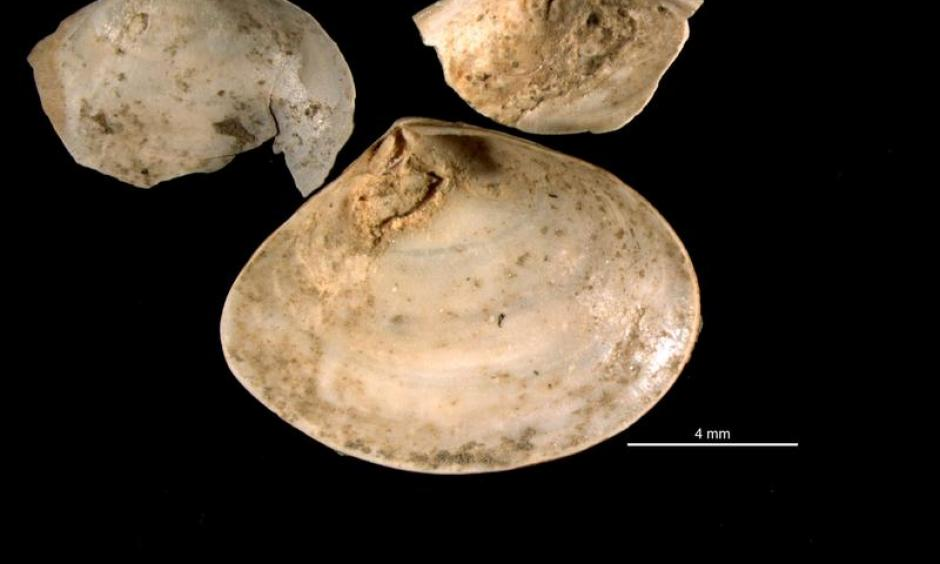 Mizzou researchers studied fossils of clams called Abra segmentum valves that had been infected by trematodes, collected from nothern Italy. Photo: Scientific Reports