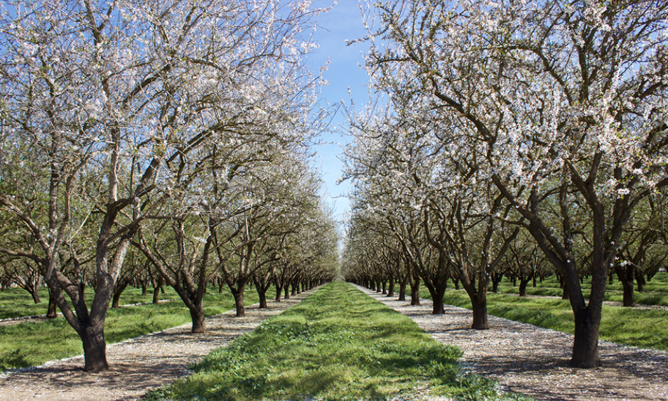 Almond blossoms give a taste of spring at the Kimmelshue Orchards in Durham, Calif., on March 8. Photo: Jessica Mendoza, Christian Science Monitor