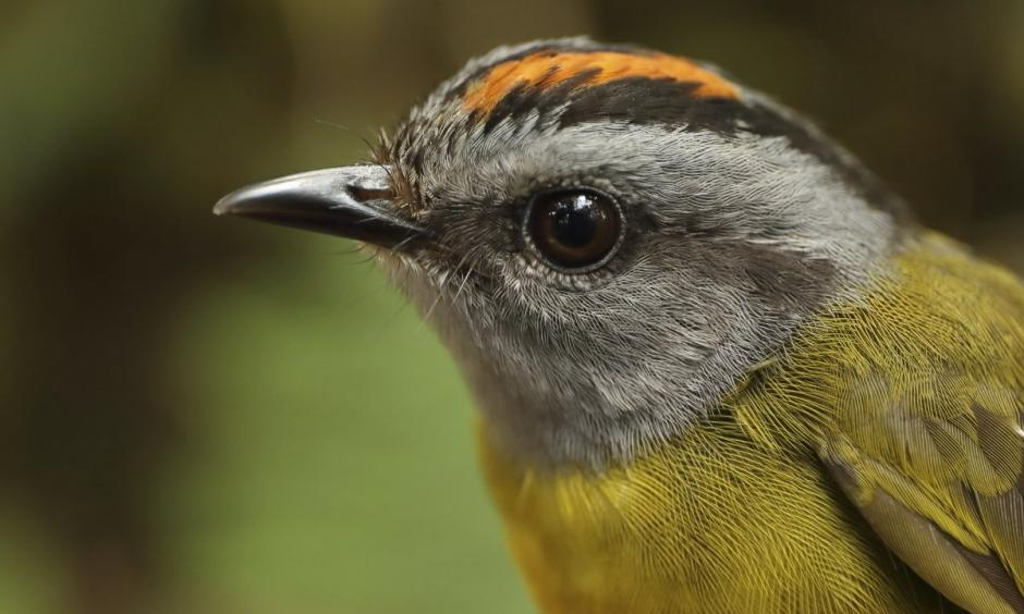 This 2017 photo provided by Graham Montgomery shows a russet-crowned warbler in the Cerro de Pantiacolla mountain in Peru. The high-elevation tropical species lives only near the top of the mountain (above 1350 meters). Between 1985 and 2017, biologists estimate a 72% decline in population on this mountain, as climate change shrinks habitat for ridgetop birds. A new study on mountaintop extinctions was published Monday, Oct. 29, 2018, in PNAS. Photo: Graham Montgomery, AP