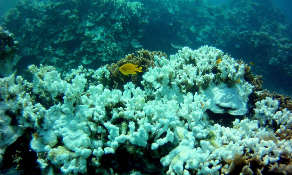 Coral bleaching. Photo: Eco Cafe' Phuket