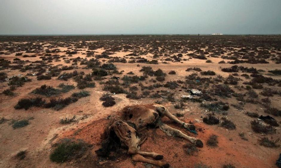 This Saturday, March 12, 2011 picture shows a dead camel in the desert outside the southeastern village of Ben Guerdane. Photo Associated Press