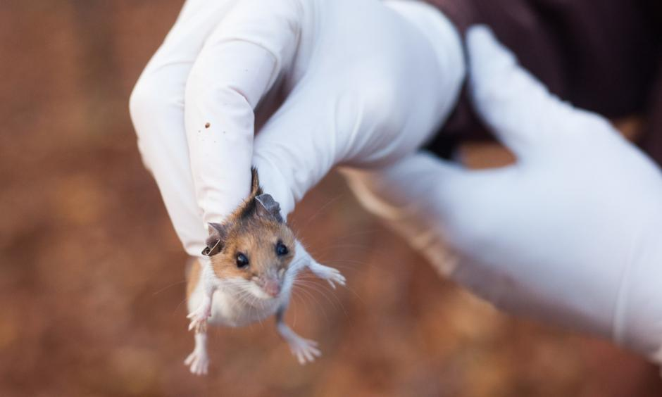 White-footed mice are efficient transmitters of Lyme disease in the Northeast. They infect up to 95 percent of the ticks that feed on them. But it's people who create the conditions for Lyme outbreaks by building homes in the animals' habitat. Photo: Stephen Reiss, NPR