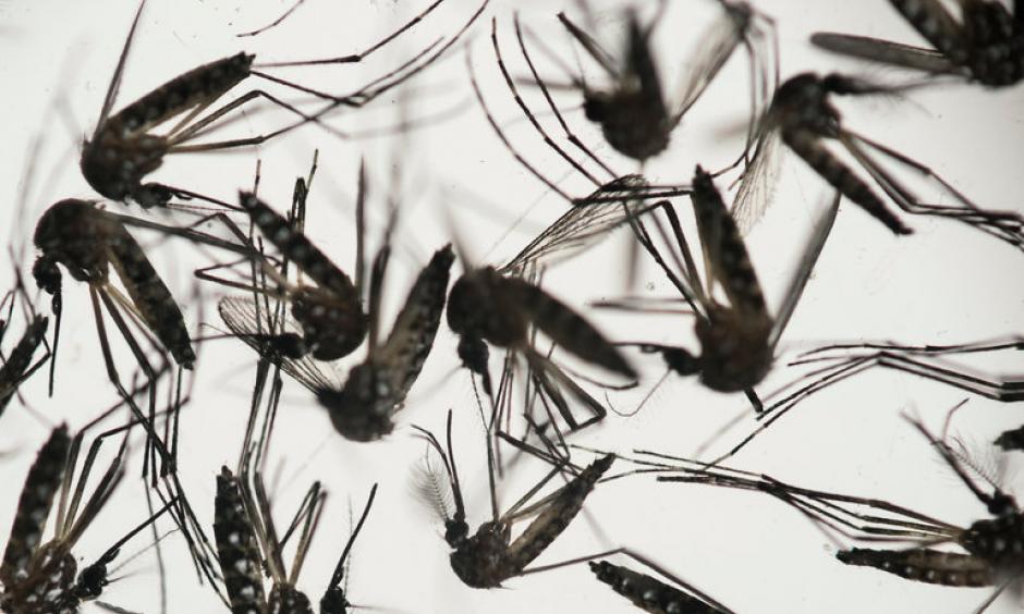 The mosquito that typically transmits Zika — the Aedes aegypti. Photo: Felipe Dana / Associated Press