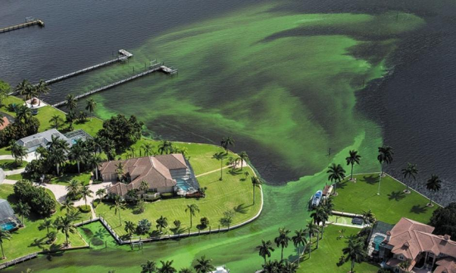 An algal bloom in Stuart, Florida, in June led to a state of emergency. Photo: Greg Lovett, Palm Beach Post