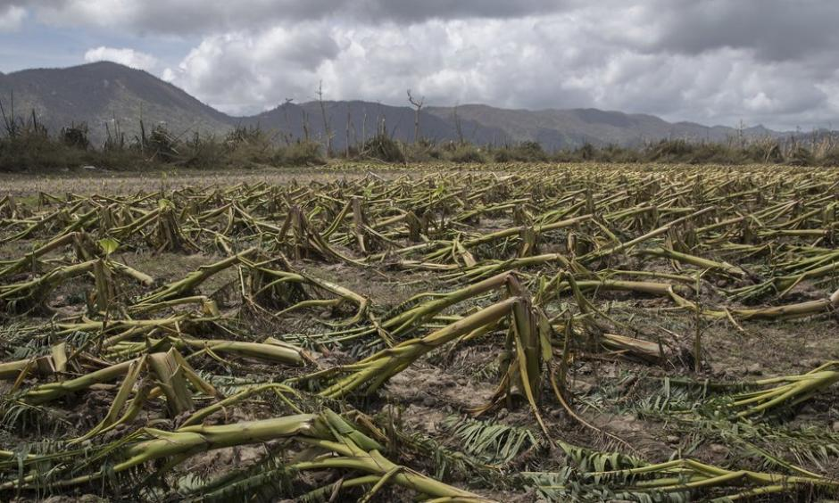 Plantain trees flattened by Hurricane Maria in Yabucoa, P.R. In a matter of hours, the storm destroyed about 80 percent of the crop value in Puerto Rico, the territory's agriculture secretary said. Photo: Victor J. Blue for The New York Times