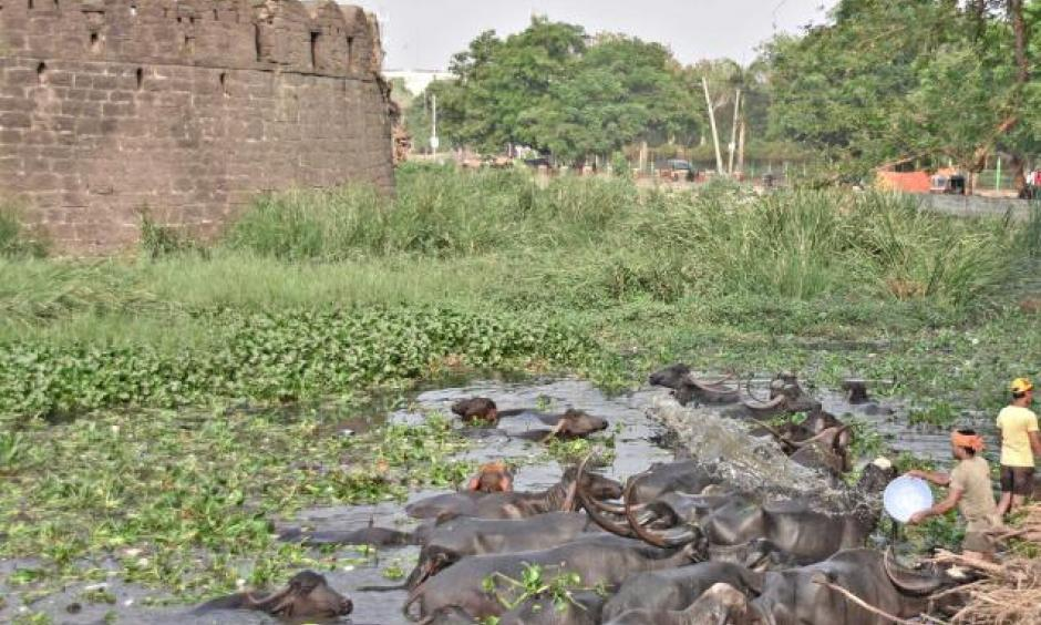 Beating the heat: Buffalos cooling off in a puddle of water in the moat of the Kalaburagi Fort on Sunday. Photo: Arun Kulkarni