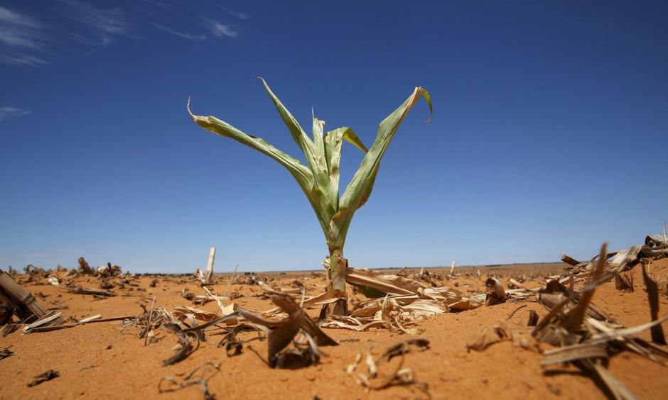 A maize plant among other dried maize in a field in Hoopstad in the Free State province, South Africa. The country suffered its driest year on record in 2015. Photo: Siphiwe Sibeko, Reuters