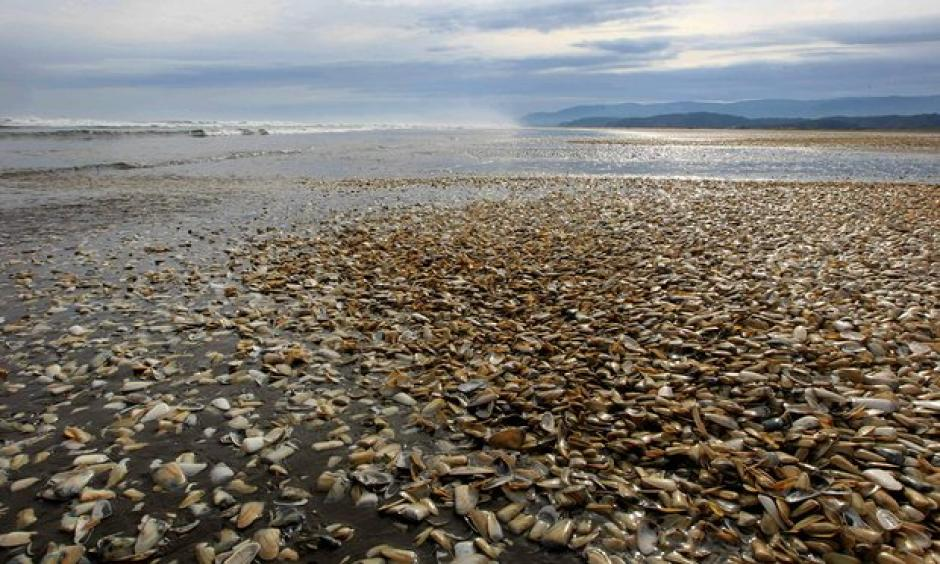 Thousands of clams beached in southern Chile where fish and shellfish has been poisoned by the red tide, heaping economic pressure on fishermen. Photo: Alvaro Vidal, AFP, Getty Images