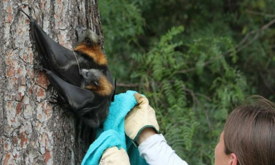 Ecologists say flying foxes with heat stress often cluster together and can suffocate each other. Photo: Kim Robertson, ABC News