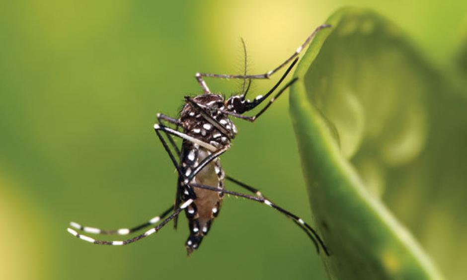 The Aedes aegypti mosquito, which transmits the Zika virus. Photo: Muhammad Mahdi Karim, Wikimedia Commons.