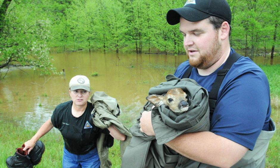 Missouri Department of Conservation workers Angie Volmert and Kyle Case worked to rescue a fawn that was stuck in some debris in Asher Hollow directly across from the main entrance at Meramec Spring Park on Sunday afternoon. Photo: Salem News