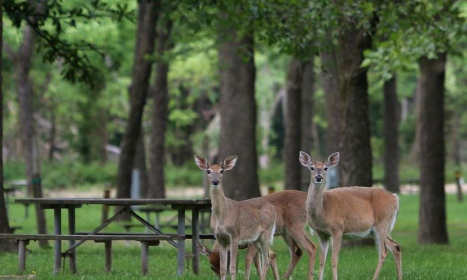 Deer are enjoying the relative quiet at Meramec State Park on Wednesday, May 24, 2017, near Sullivan that won't last much longer. The campgrounds have been closed due to historic flooding of the Meramec River. Photo: J.B. Forbes