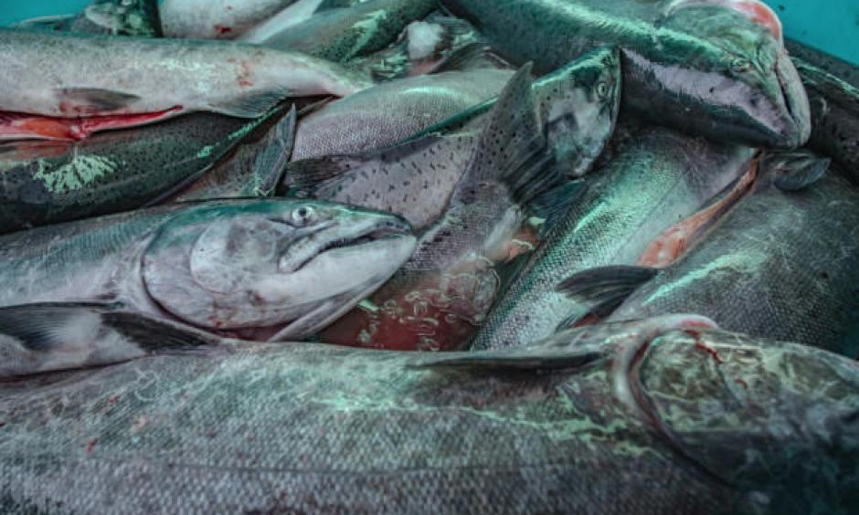 Unusual ocean and climate conditions have significantly harmed several Washington fisheries. Six fisheries in the state could now seek federal assistance to help bring things back to normal. Credit: Sean O'Connor