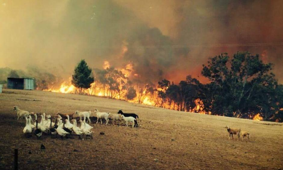 Sampson Flat fire front in the Adelaide Hills approaches goats and geese in a field. Photo: Eugene Klaebe, firefighter