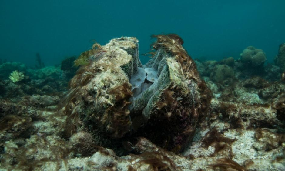 A dying giant clam in the Great Barrier Reef following severe bleaching in winter 2016. Photo: XL Catlin Seaview Survey