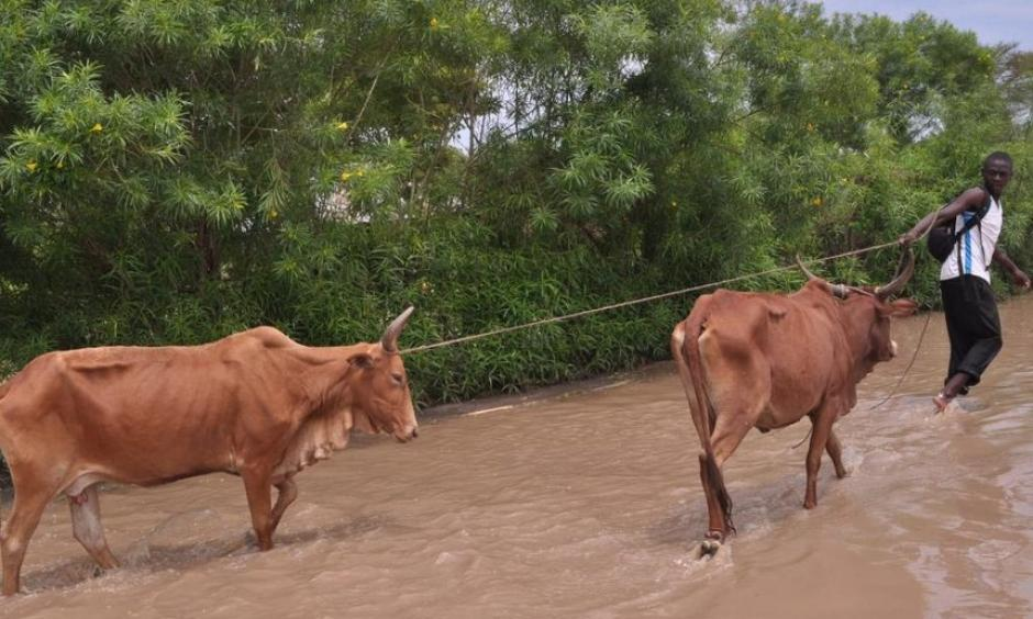 A man pulls his cows on a flooded path in Kochogo village, Nyando, after heavy rains /FILE
