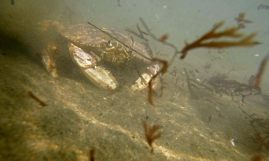 A crab walks on the stand under in the ocean at Linda Mar in Pacifica, Calif. on October 7, 2015. Photo: Brian Feulner