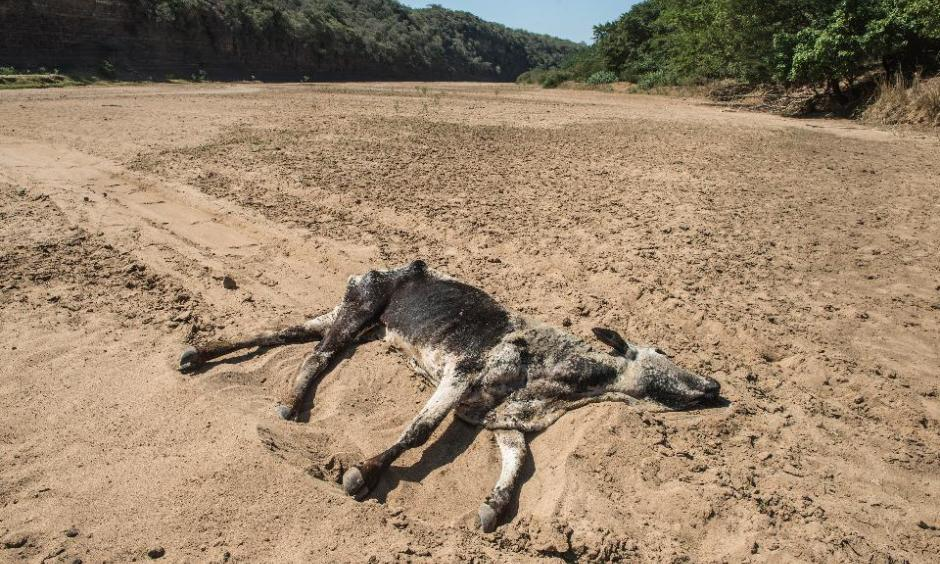 The carcass of a dead cow lies in the Black Umfolozi River, dry from the effects ot the latest severe drought, in Nongoma district north west from Durban, South Africa, on November 9, 2015. Photo: Mujahid Safodien, AFP/Getty Images)
