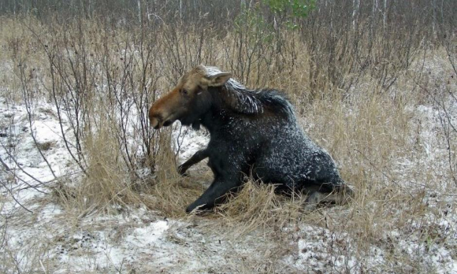 A sick cow moose tries to get up when approached along the Echo Trail near Ely, Minn., in 2008. Surveys of Minnesota's moose showed that the population has been declining for several years because of several factors, including known and unidentified diseases. Photo: Mike Schrage, AP