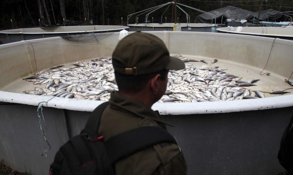 A policeman walks past a tank filled with dead fish at a salmon farm. Photo: Luis Hidalgo, Associated Press