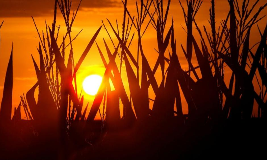 Corn stalks are silhouetted by a setting sun, July 22, 2016, in Pleasant Plains, Illinois, as the temperature hovers around 100 degrees. Photo: Seth Perlman, AP