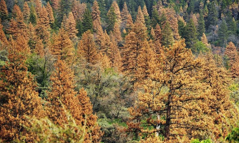 Trees are dying at a rapid rate in portions of the Sierra Nevada because of drought and bark beetles. Photo: Eric Paul, Zamora / Zuma Press