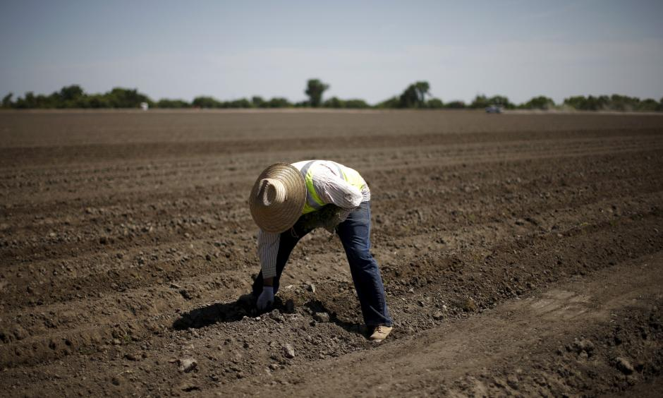 A farmworker plants tomatoes in Los Banos, California. Reuters/Lucy Nicholson