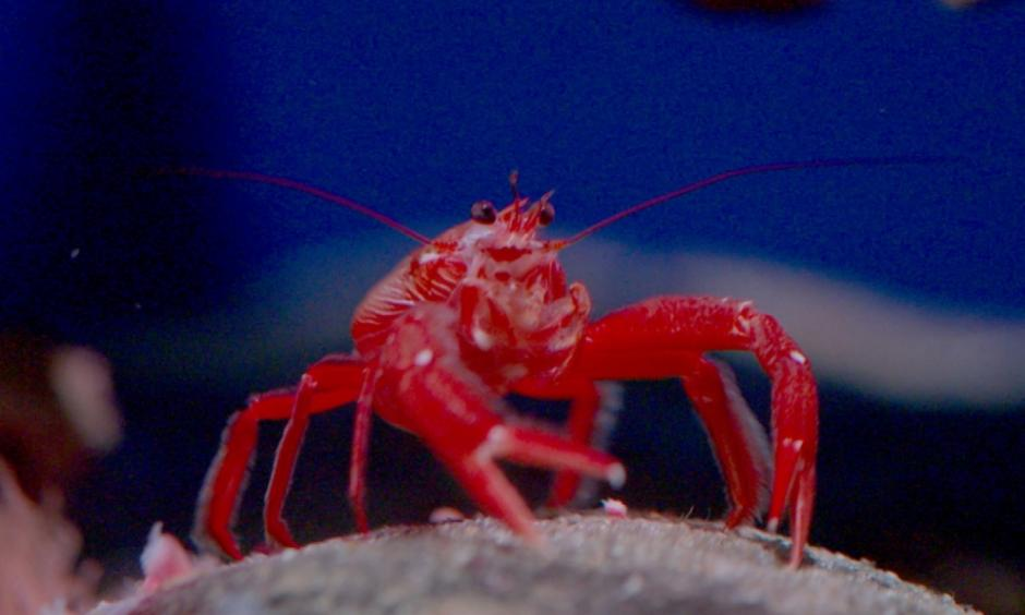 The pelagic red crab is one of the biggest harbingers of El Niño. Photo: America Tonight