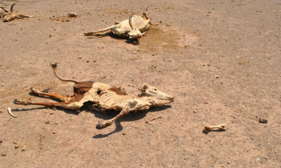 Carcasses of cattle litter the landscape in northeastern Ethiopia. More than 80 percent of Ethiopia's population works in agriculture, making the country especially vulnerable to drought. Photo: Jacey Fortin, The New York Times