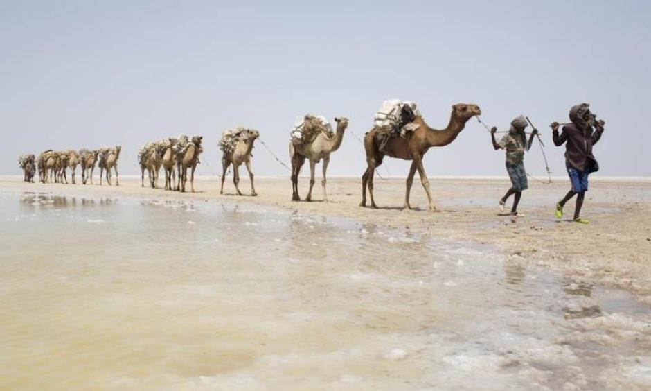 A camel caravan carrying slabs of salt travels away from the Danakil Depression, northern Ethiopia April 22, 2013. Photo: Siegfried Modola, Reuters