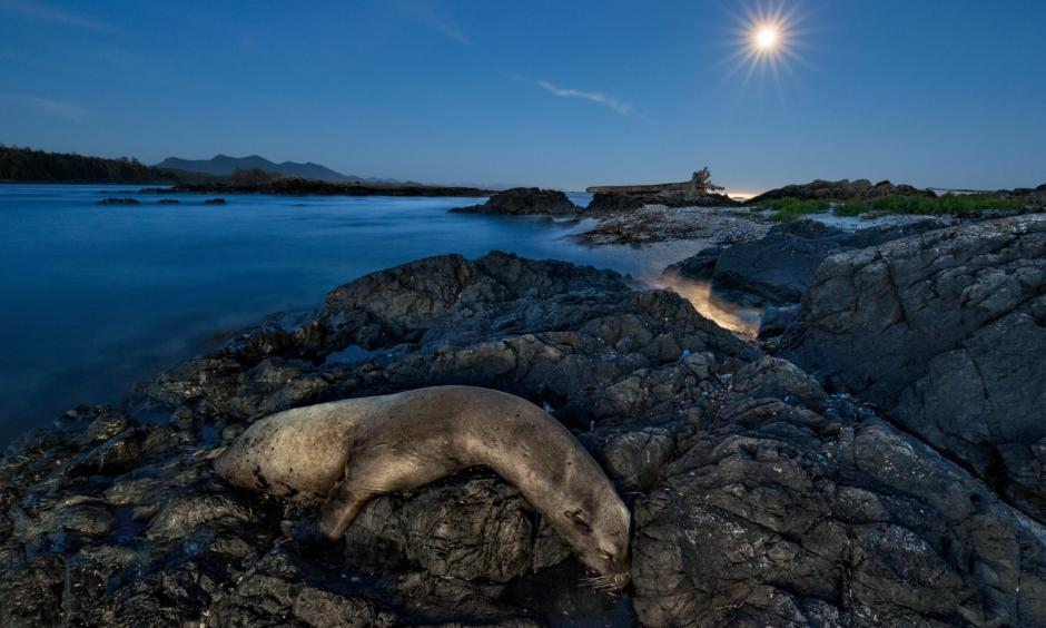 Thousands of California sea lions, such as this one on rocks near Canada's Vancouver Island, died in 2014 and 2015. Many starved as they struggled to find food in an unusually warm eastern Pacific. Photo: Paul Nicklen