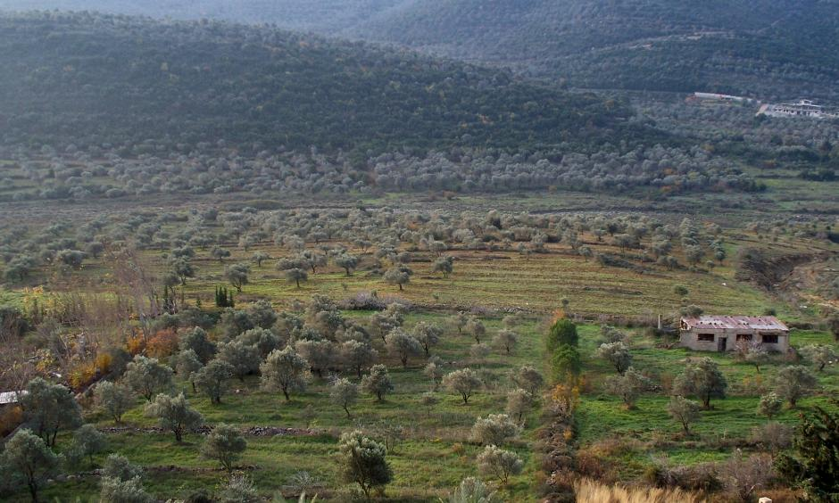Olive groves in Western-Syria. Photo: High Contrast