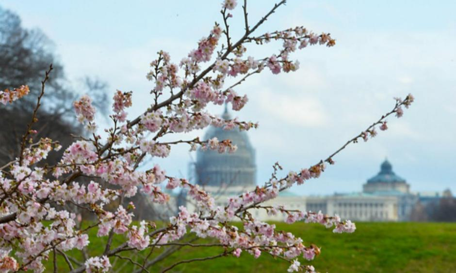 The Guardian published a photo of cherry trees blooming in December in Washington, DC–but don't think this has anything to do with global warming, the paper said. (photo: Bao Dandan/Xinhua Press/Corbis)