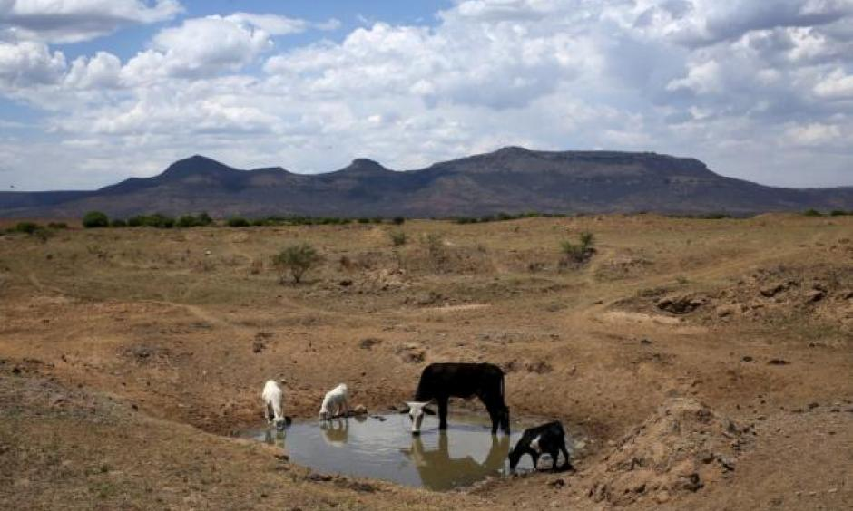 Livestock drink from a drying river outside Utrecht, a small town in the northwest of KwaZulu-Natal, November 8, 2015. REUTERS/SIPHIWE SIBEKO