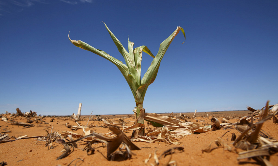 A maize plant struggles for life in a parched field in Hoopstad, usually the country's most productive maize farming area. Photo: Siphiwe Sibeko, Reuters