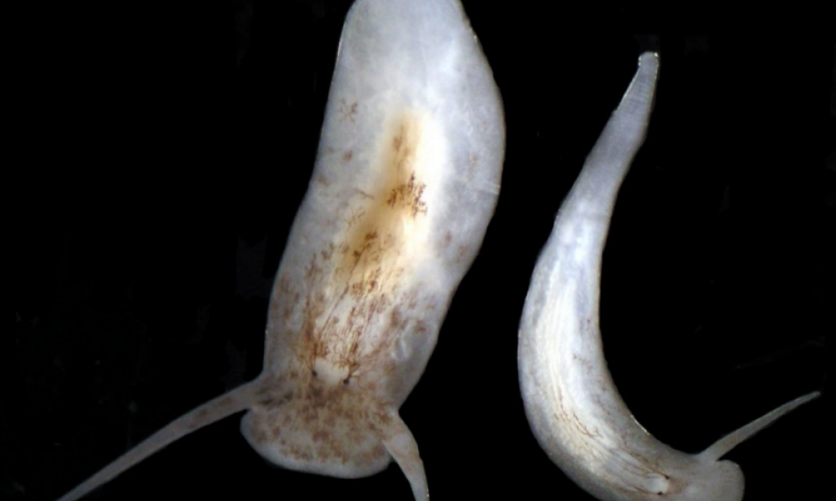 One of the studied flatworm species. Photo: David Blair, Washington Post