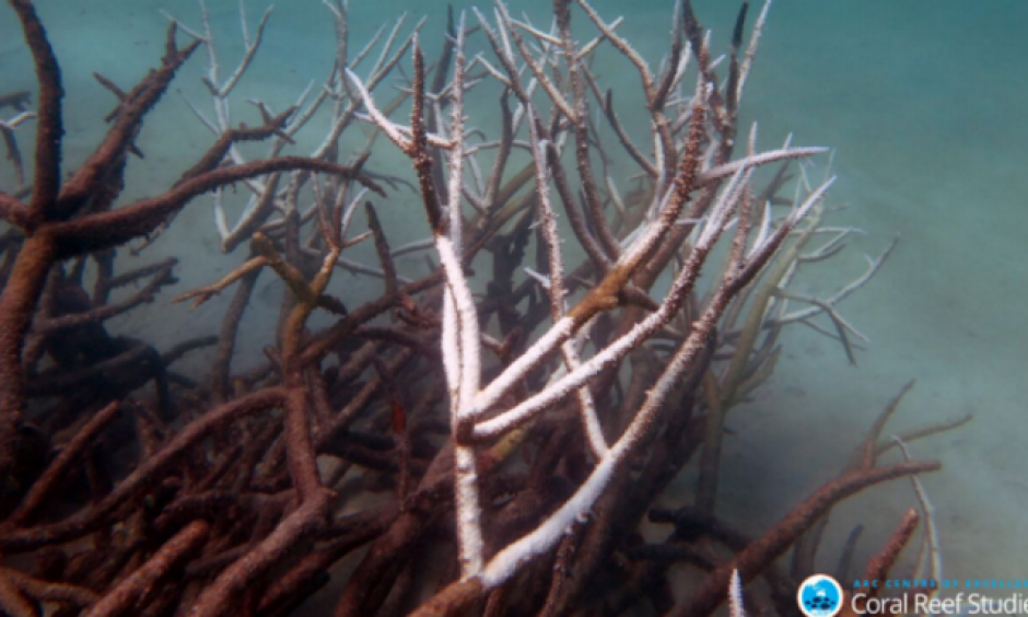 Dying corals in the Great Barrier Reef after the worst bleaching event on record. Photo: James Cook University