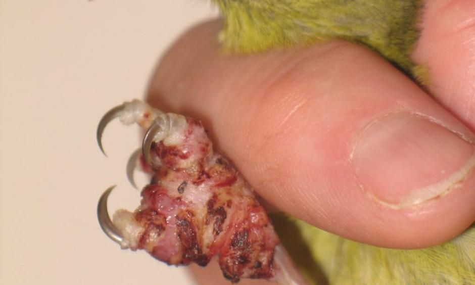Hawaiʻi 'amakihi with avian pox. Symptoms of this virus, which can be spread by mosquitoes, include tumor-like lesions on unfeathered parts of a bird's body, including feet and legs, around the eyes and at the base of the bill. Photo: USGS