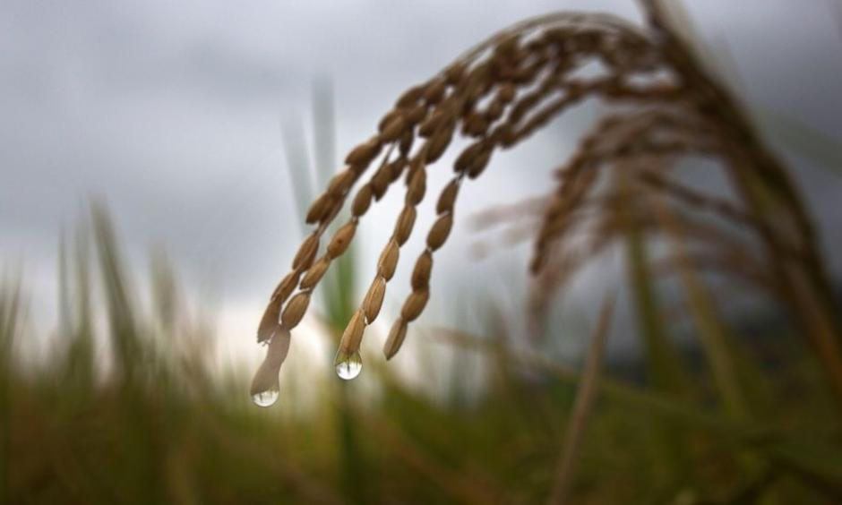 In this May 25, 2015 file photo, drops of rain hang from the tip of a rice stalk before harvest in Burha Mayong village, about 50 kilometers (31 miles) east of Gauhati, India. Photo: Anupam Nath, AP