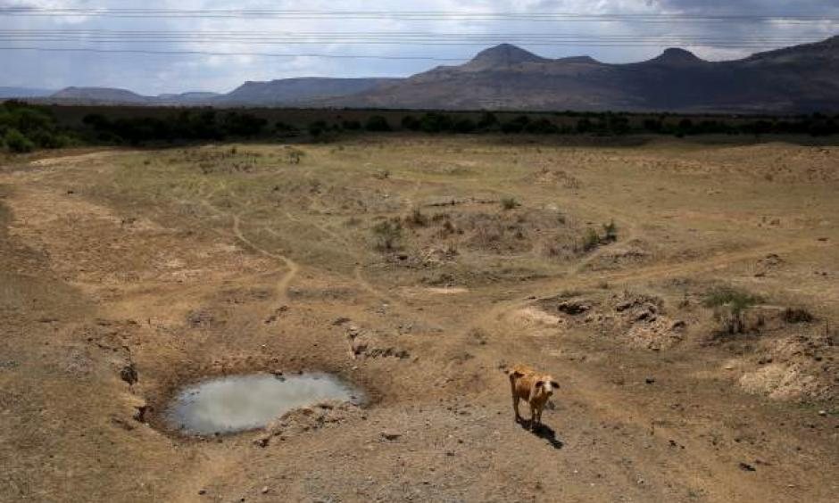 A cow is seen near a dry river outside Utrecht, a small town in the northwest of South Africa's KwaZulu-Natal, on November 8, 2015. Reuters/Siphiwe Sibeko
